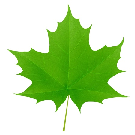 Green maple leaf isolated on white background. Vector eps10 illustration Stock Vector - 8943817