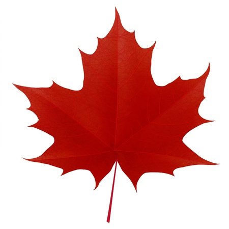 Realistic red maple leaf isolated on white background.  Vector