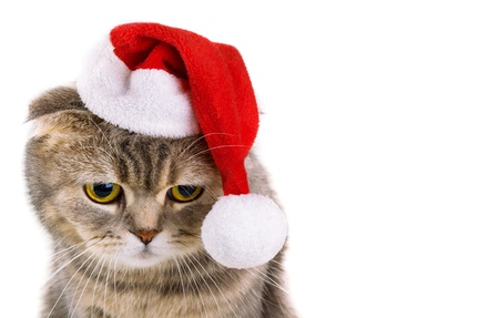 cristmas card: Cute gray cat in Santa Claus hat isolated on white background