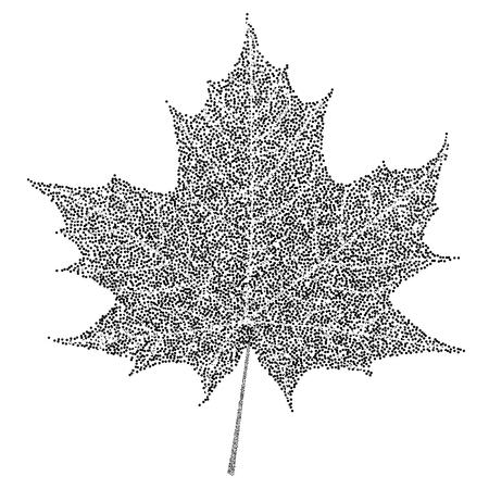 maple tree: Black and white maple leaf on white background.