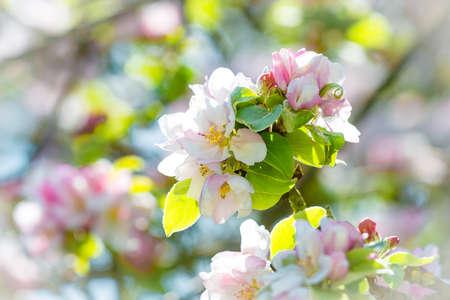 Blossom from apple tree Reklamní fotografie