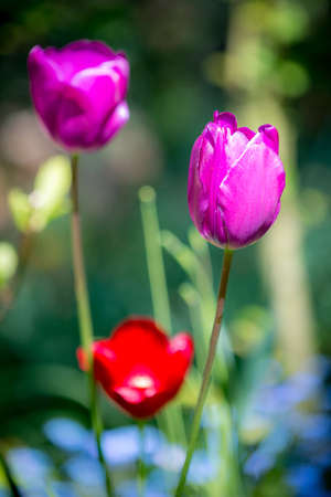 Some tulip in the garden