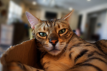 A pet bengal house cat sits in a box, staring at the camera with a relaxed and cheeky look. The cat's expression is of quizzical amusement. Reklamní fotografie
