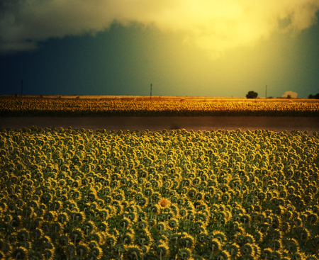 A field of sunflowers in Wyoming faces away from the camera, while one single sunflower faces the camera, looking cheerfully defiant and individualistic. The picture represents freedom, rebelliousness, leadership and being a maverick. The tone is cheerful