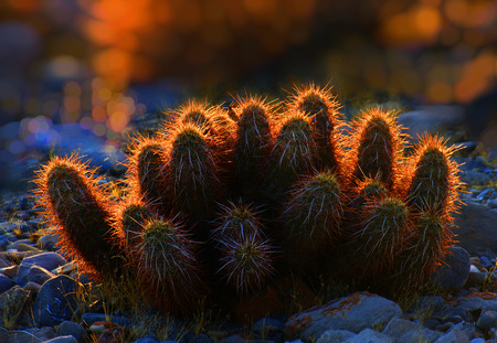 A clustered cactus at sunset  dusk with glowing needles  spines. The image is reflective of sharpness, nature, sunset, prickles, defensiveness, survival and beauty in the natural world.