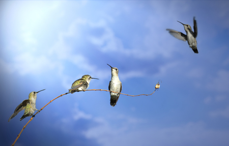 Four humming birds are balanced on a twig branch, each in a different pose: Sitting, standing and flying. The picture represents freedom, teamwork and happiness.