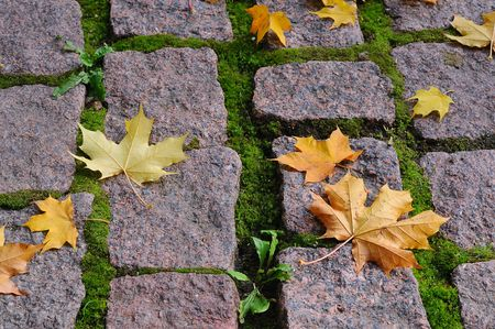 Maple leaves on cobblestones sidewalk on the sun
