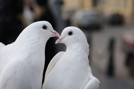 pigeons: Mariage de pigeons Banque d'images