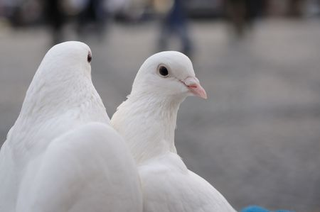 Wedding pigeons Stock Photo - 5850947