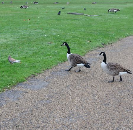 Two Canada Goose moving walkway in Kensington Gardens, London