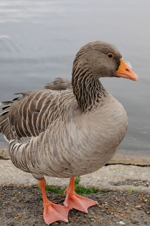 Bean Goose standing on the shore of Round Pond. The Bean Goose is a rare winter visitor to Britain.