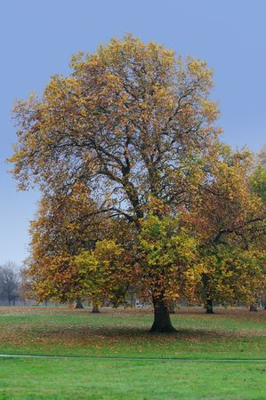 Autumn maple in Green Park, London