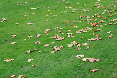 Maple leaves on a green lawn