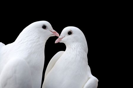 Two beatiful white pigeons isolated on black