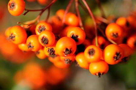bunchy: Vista de la macro de la rama de rowan Foto de archivo