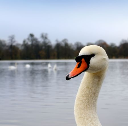 The head of the beautiful swan
