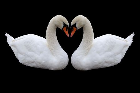 Two beatiful white swan isolated on black Stock Photo