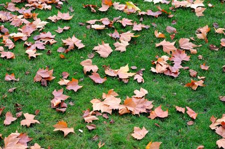 Maple leaves in green lawn