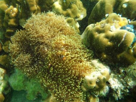 clown anemonefish swimming Stock Photo - 18853122