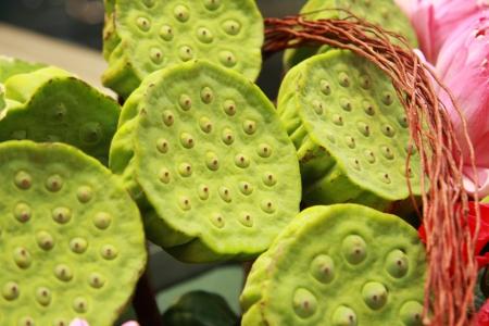 seedpod: Lotus flower and seedpod  Stock Photo