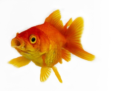 Goldfish on White Stock Photo - 19982643