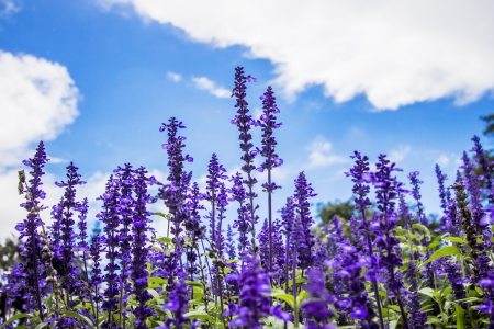 plateau of flowers: Lavender flower