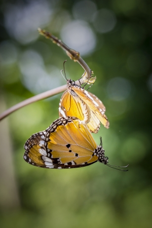 Butterflies are mating on the vine  photo