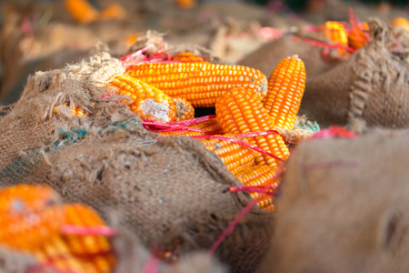 animal feed: yellow dried corns for animal feed in sack Stock Photo