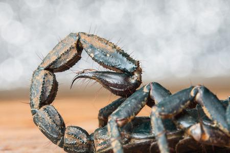 stinger: macro of a scorpion stinger Stock Photo