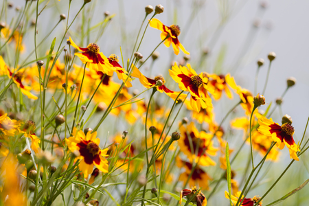 group of plains coreopsis tinctoria flowers