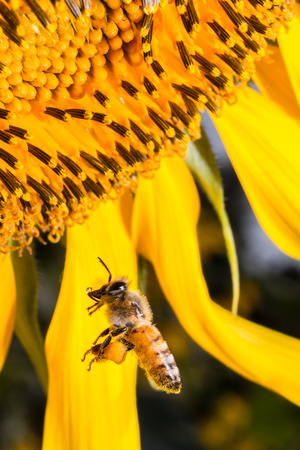 bee working on a sunflower