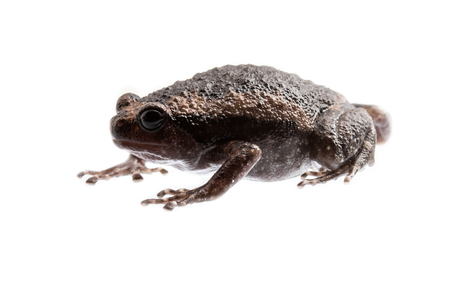 bullfrog: young bullfrog on white background.