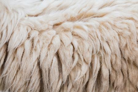 furry stuff: Wool of sheep background Stock Photo