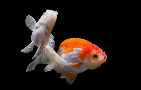 ranchu: Two goldfish isolated on black background.