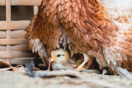 brooder: Hen and chicks Stock Photo