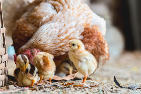 chicks: Gallina y pollitos