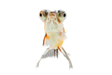 goldfish isolated: Calico Telescope-eyes Goldfish, goldfish isolated on white background.
