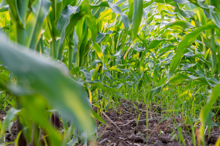 low angles: corn field view from low angles. Stock Photo