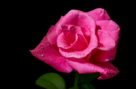 close up pink rose with drops on a black background.