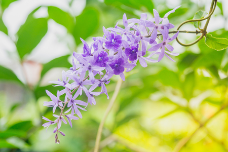 petrea: Petrea volubilis flowers, Purple vine flowers