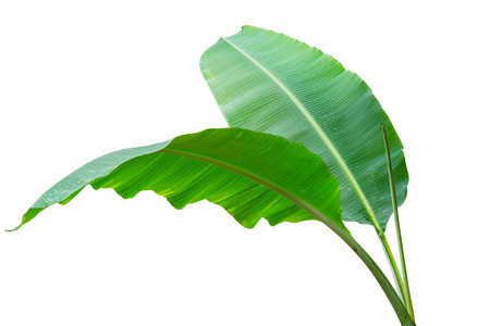 Banana leaf Wet isolated on white background. File contains a clipping path. 스톡 콘텐츠