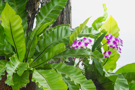 ferns and orchids: Birds nest fern and purple orchid hanging on tree in garden, Asplenium nidus