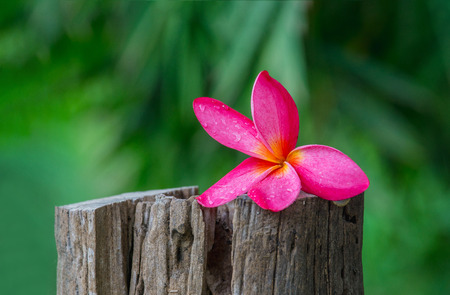 pink flower frangipani on Stump with nature green background