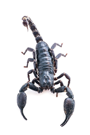top view isolated Closeup of a scorpion on  white background.