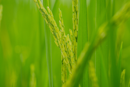 Close up Green ear of rice in rice field, ear of paddy