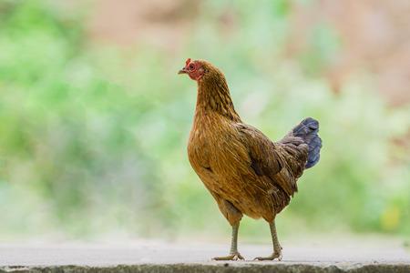 bantam hen: close up portrait of bantam chicken, hen Stock Photo