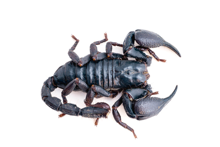 subtropical: scorpion on white background. Giant forest scorpion species found in tropical and subtropical areas in Asia.