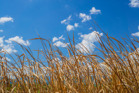 Close up dry grass with blue sky Stock Photo