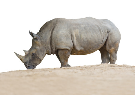 rhinoceros standing on the sand isolated on white background, File contains a clipping path.
