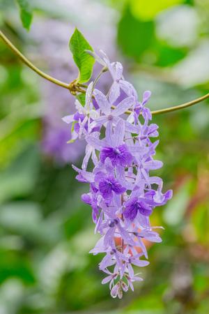 petrea: Petrea volubilis flowers, Purple vine flowers